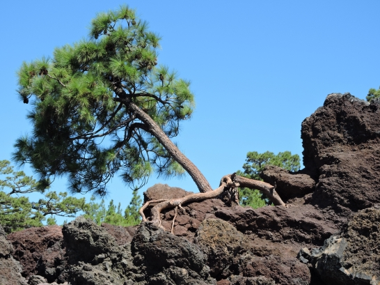 Tree growing in Lava Field